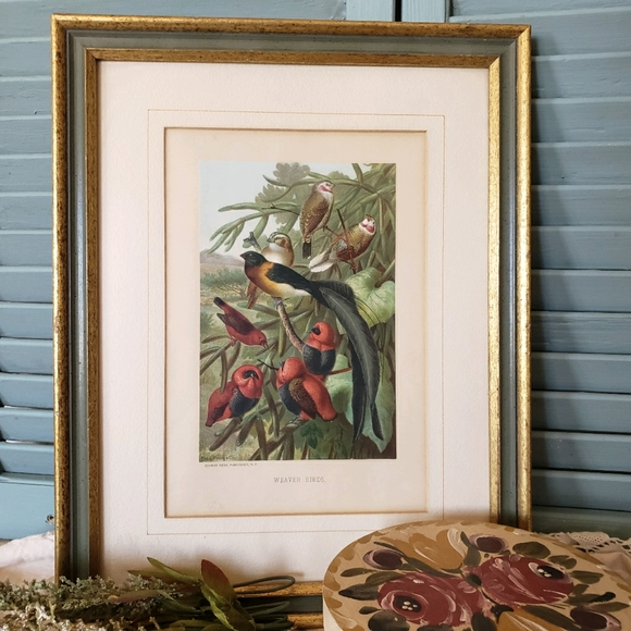 Weaver Birds Framed Lithograph Print Botanicall